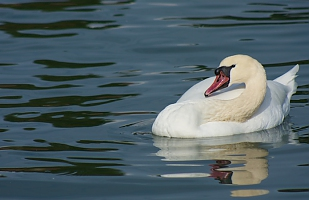 Relax swan