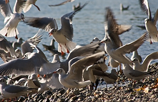 Agitated gulls