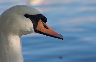 Mister Swan